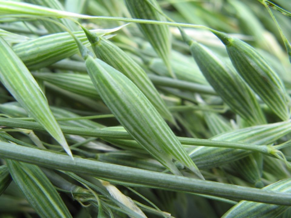 oat-avena-sativa.jpg