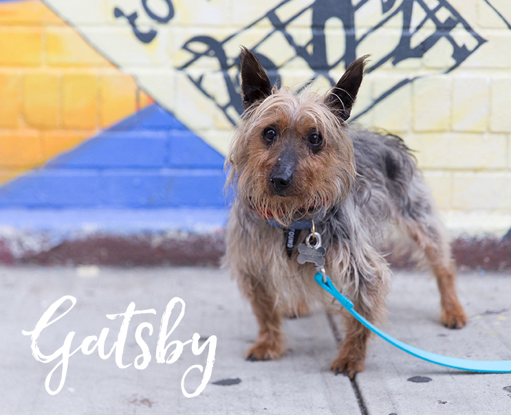 Gatsby is a 9 year old 12 lb dapper gentleman Australian Terrier who has plenty of energy for a senior, and gets along with other pets. Photo by Cynthia Lee @putawoofovermyhead -- ADOPTED!