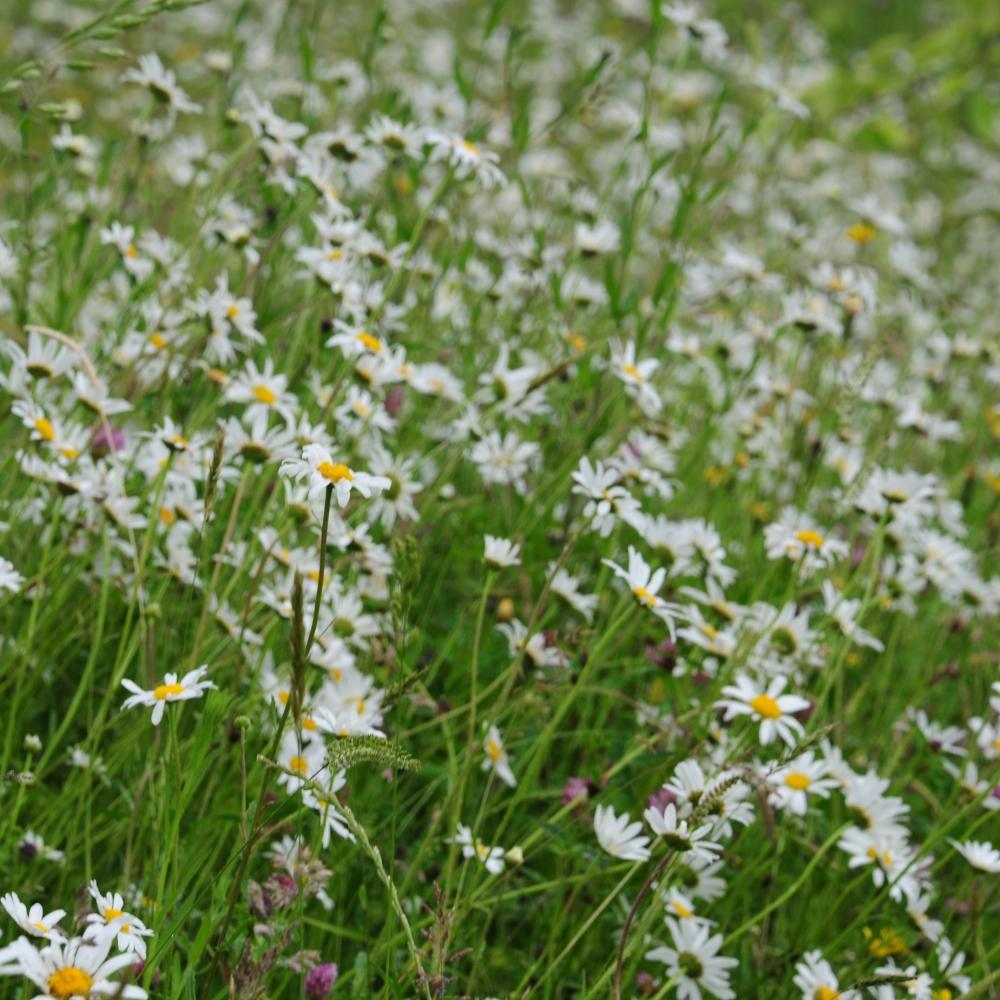 Alt-y-bela Leucanthemum Arthur Road Landscapes.jpg