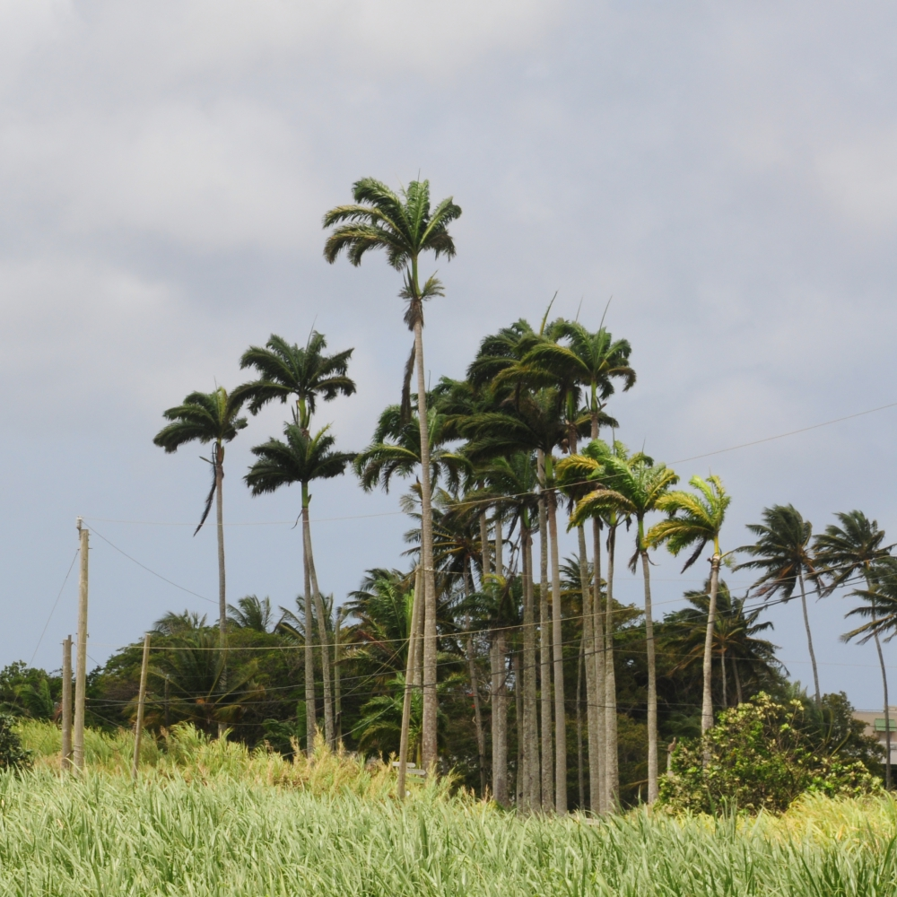 Royal palms Barbados Arthur Road Landscapes.jpg