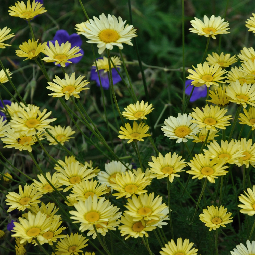 Anthemis tinctoria EC Buxton Arthur Road Landscapes.jpg