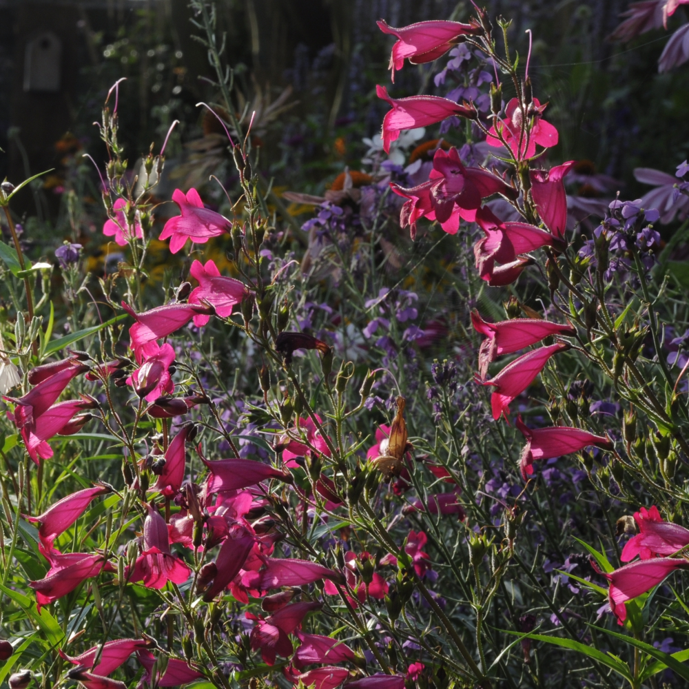Penstemon Garnet Arthur Road Landscapes.jpg