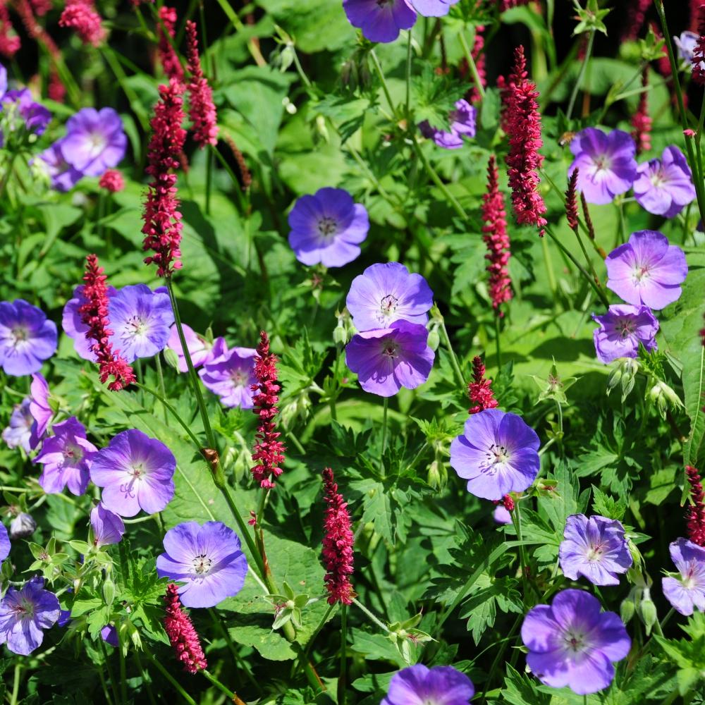 Geranium Rozanne Arthur Road Landscapes.jpg