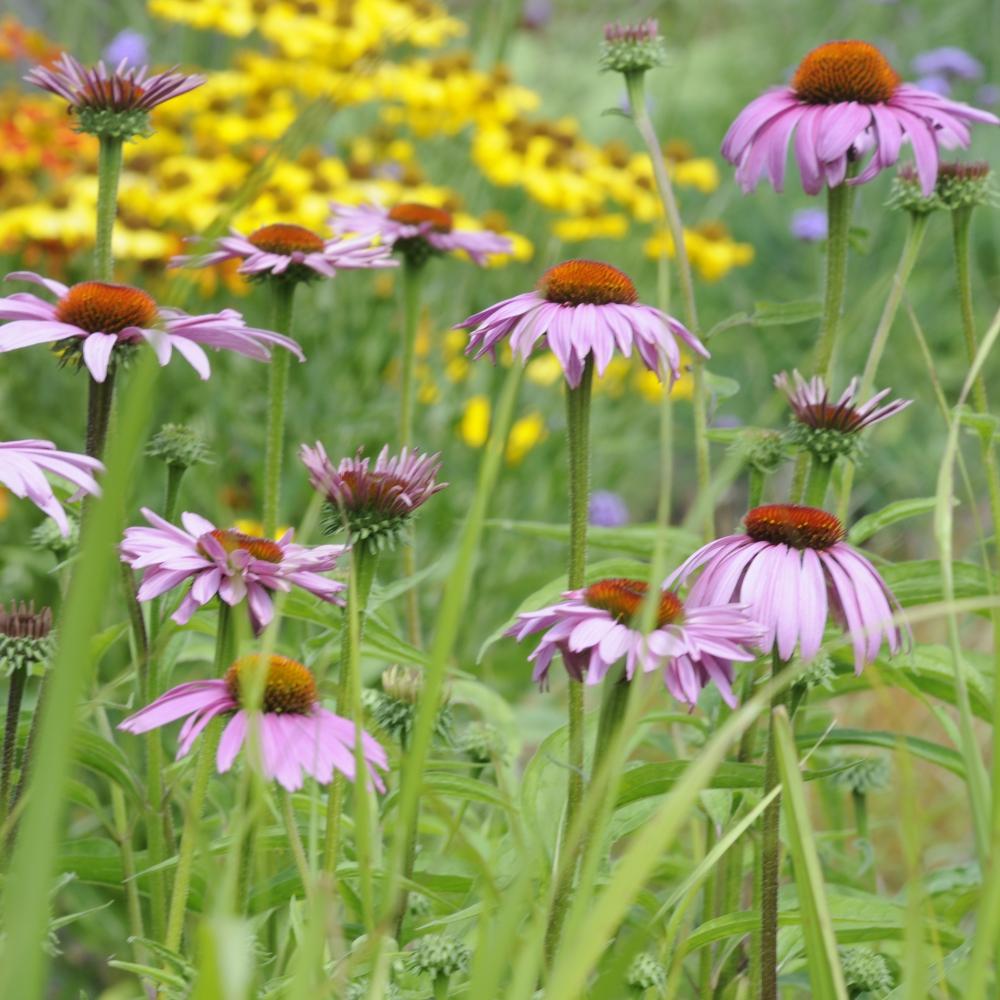 Echinacea purpurea Magnus Arthur Road Landscapes.jpg