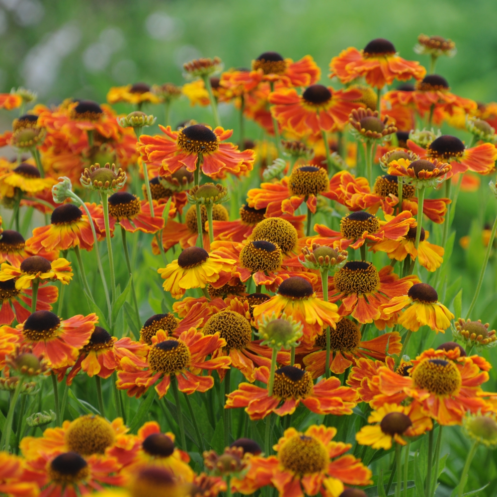 Helenium Moerheim Beauty Arthur Road Landscapes.jpg