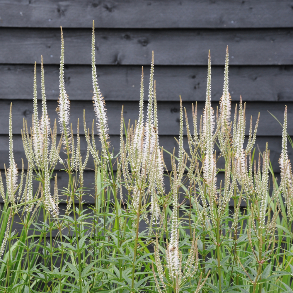 Veronicastrum virginicum Album Arthur Road Landscapes.jpg