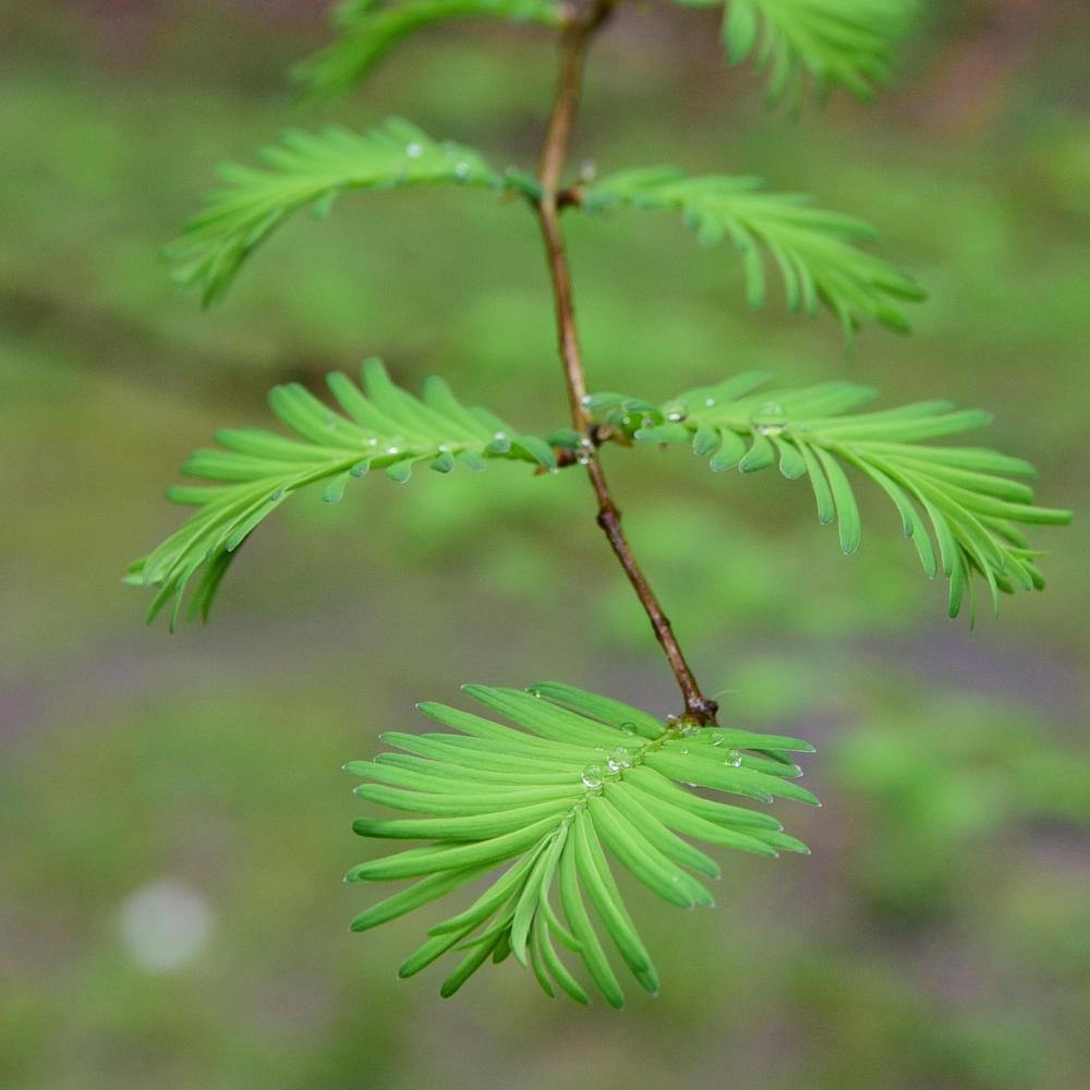 Metasequoia glyptostroboides Arthur Road Landscapes.jpg