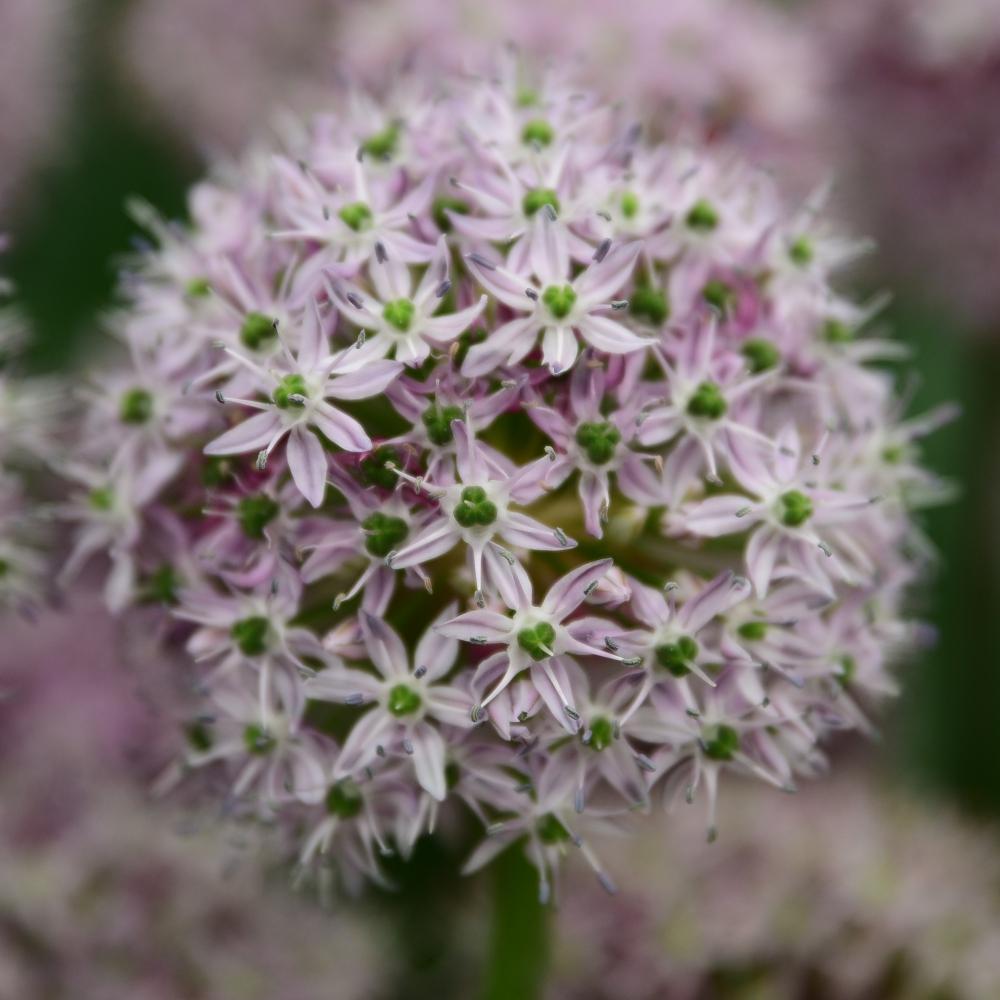 Allium Decipiens