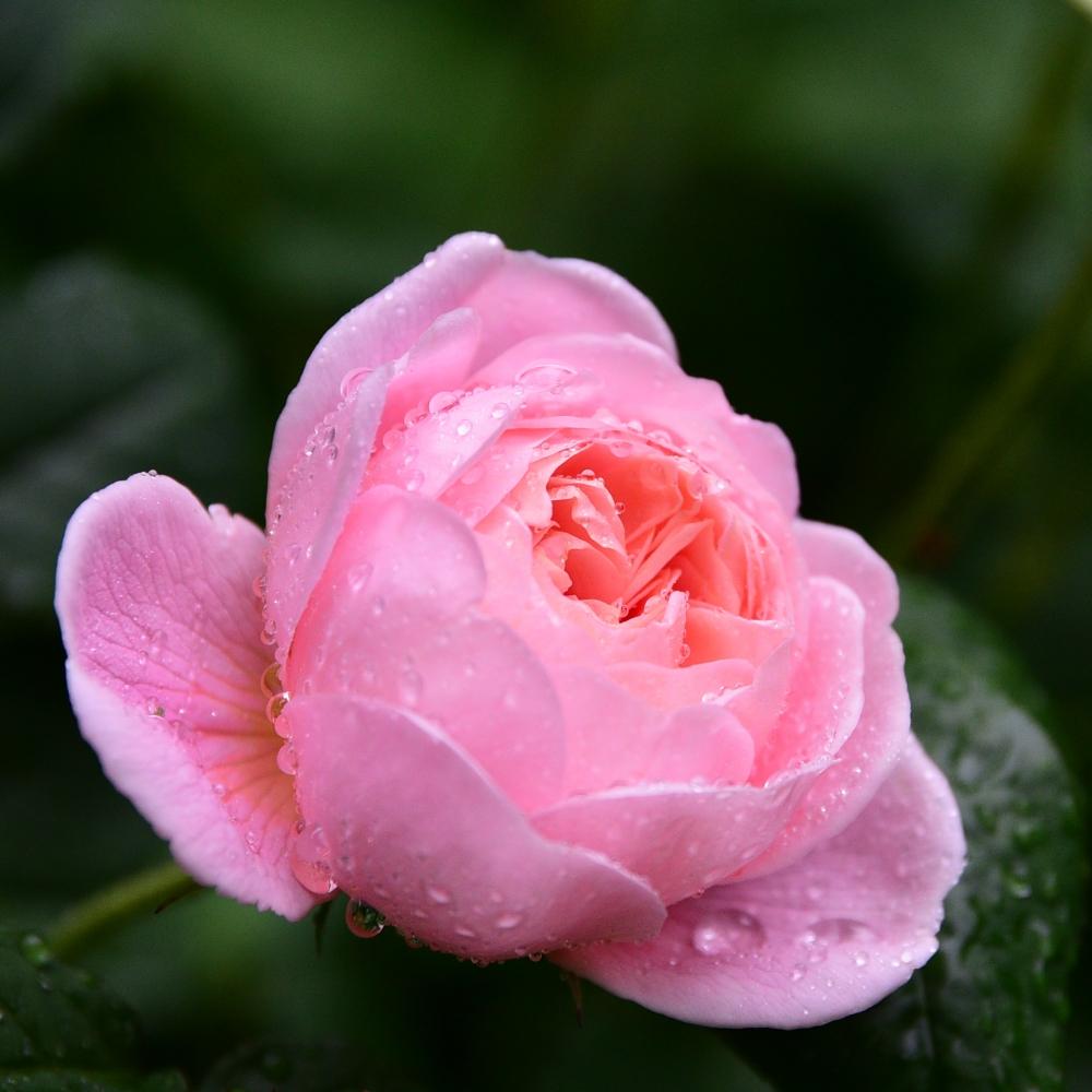 Rosa Queen of Sweden
