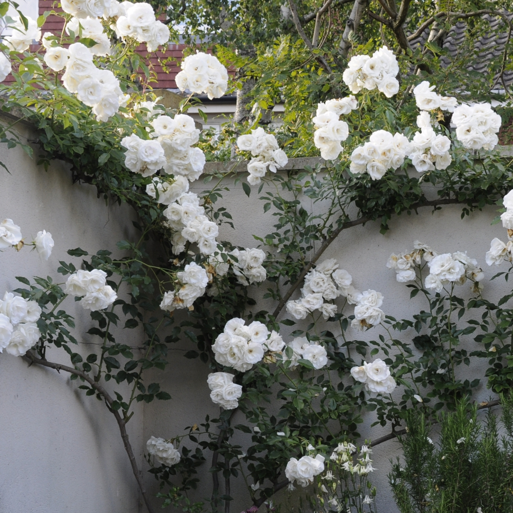 Rosa Iceber Arthur Road Landscapes.jpg