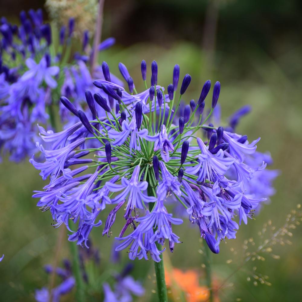 Agapanthus Jack's Blue