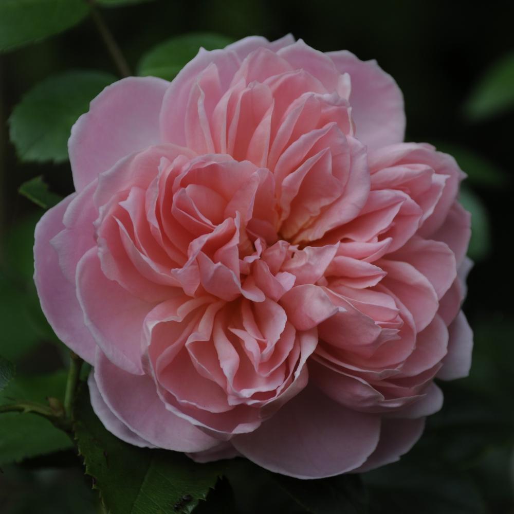 Rosa Wildeve