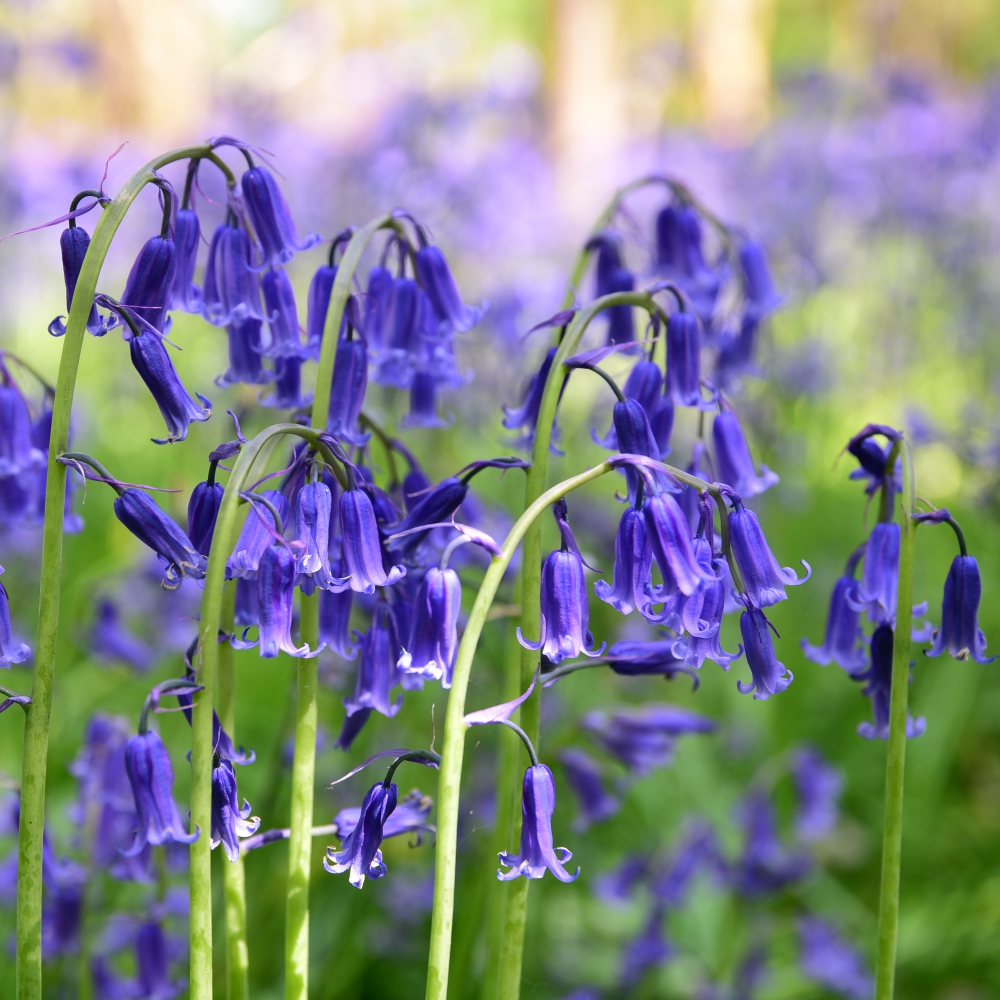 Bluebells Arthur Road Landscapes.jpg