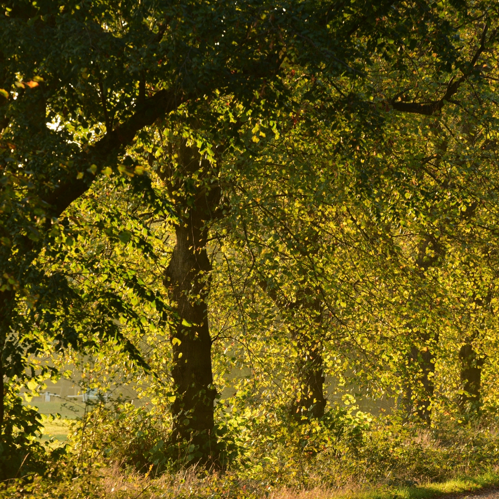 Lime trees Arthur Road Landscapes.jpg