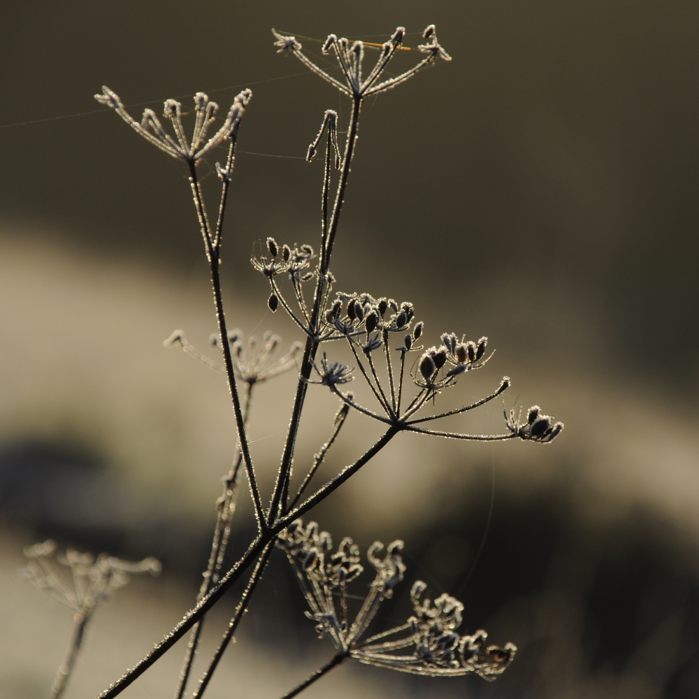 Frosted cow parsley Arthur Road Landscapes.jpg