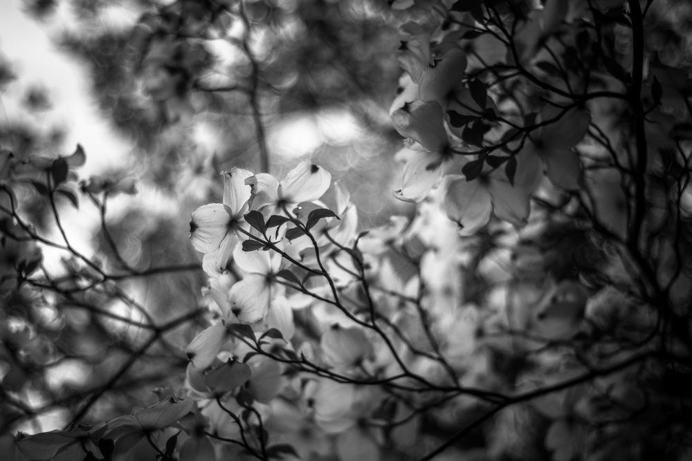 """Dogwood Springtime ~ Yosemite Valley 2017"