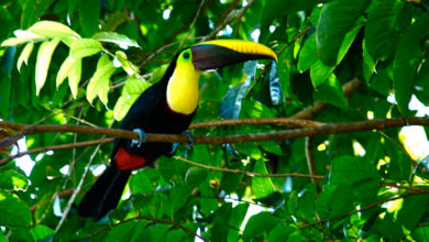 390px-Tucan_in_Costa_Rica_2.png