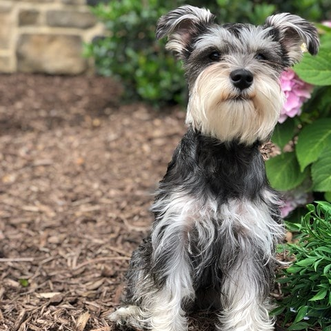 "Mílo means ""apple"" in Greek. 🍎 And she definitely is the #appleofmyeye. I love my #miniatureschnauzer like no other. Happy #nationalbringyourdogtoworkday. • • • •  #puppiesofinstagram #greekpuppy"