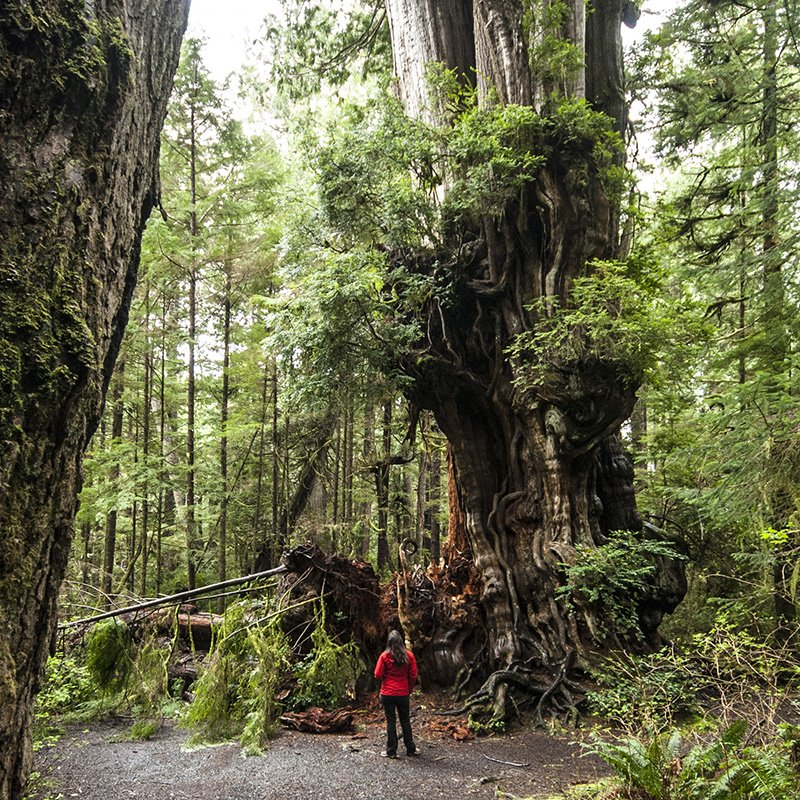 The Kalaloch Cedar, estimated to be roughly 1,000 years old. Find how to get to this tree with the Outdoor Project.