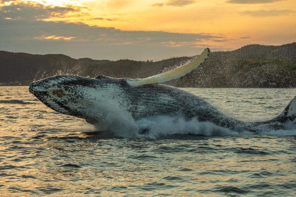 Humpback-Whale-Breach-Three.jpg