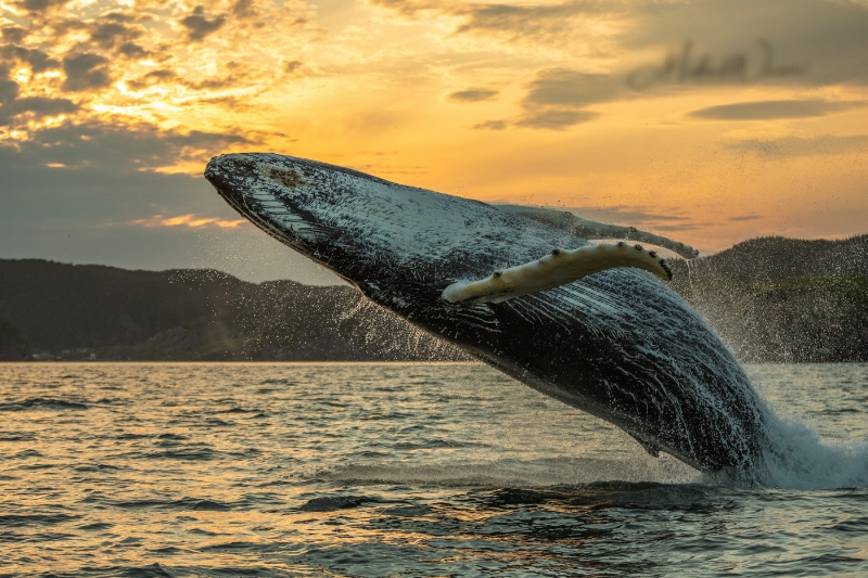 Humpback-Whale-Breach-One.jpg