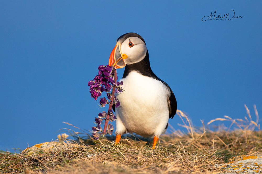 Puffin-With-Lupin.jpg