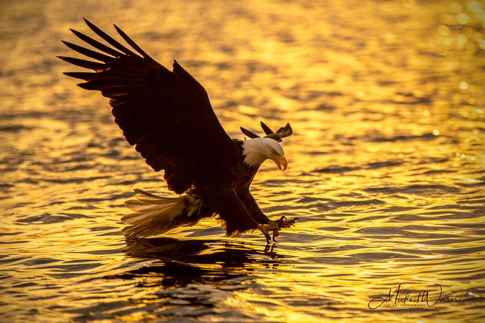 Bald-Eagle-Golden.jpg