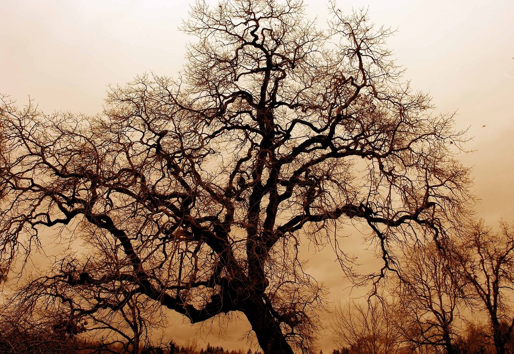 gnarled-old-oak-1166907_1920.jpg