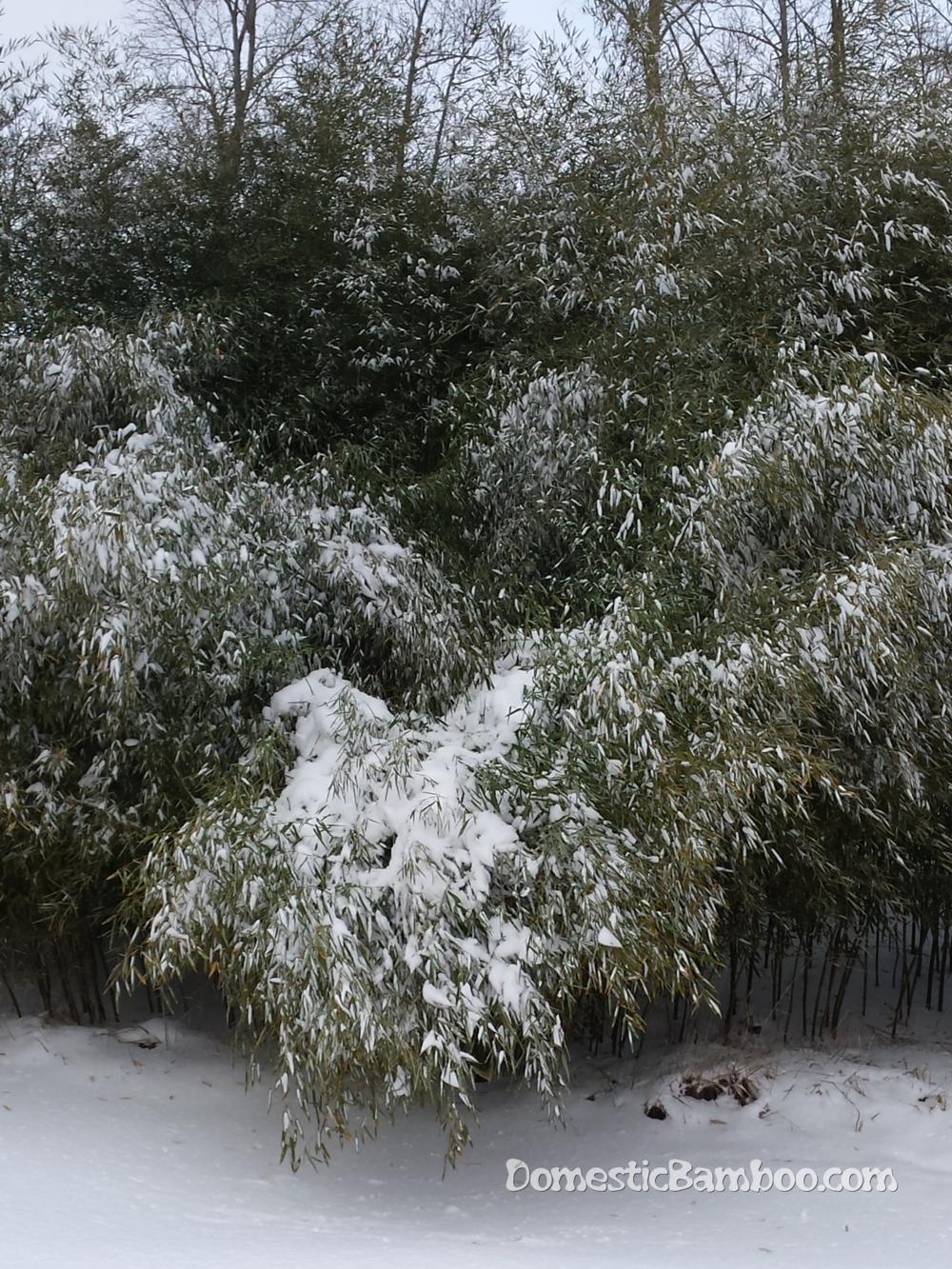 Domestic winter hardy bamboo