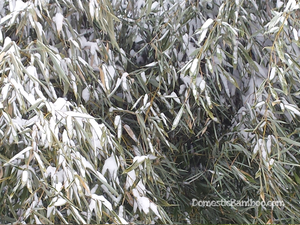bamboo leaves covered in Ohio snow