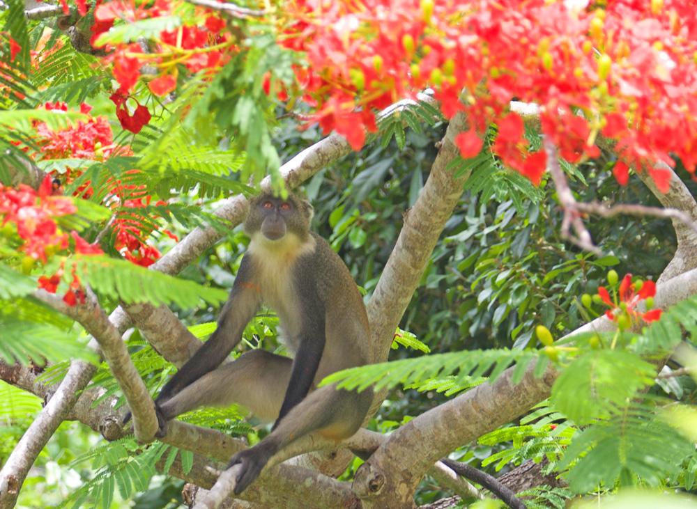 ARA-monkey.jpg