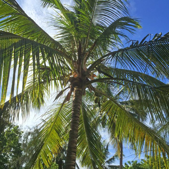 Beachcomber-palm.jpg