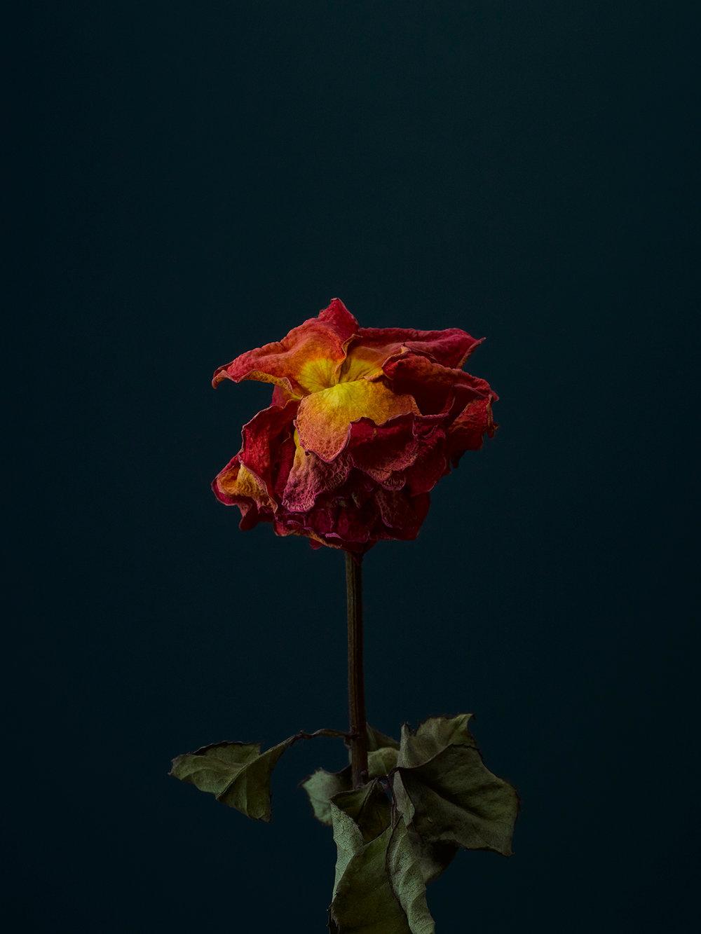 rose-3-copy.jpg