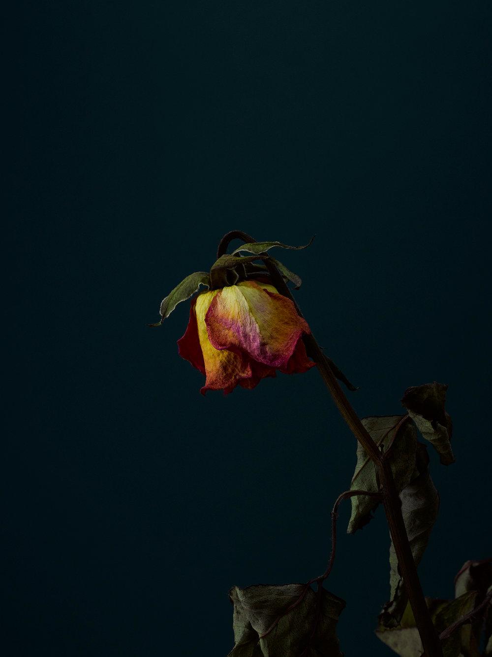 rose-4-copy.jpg