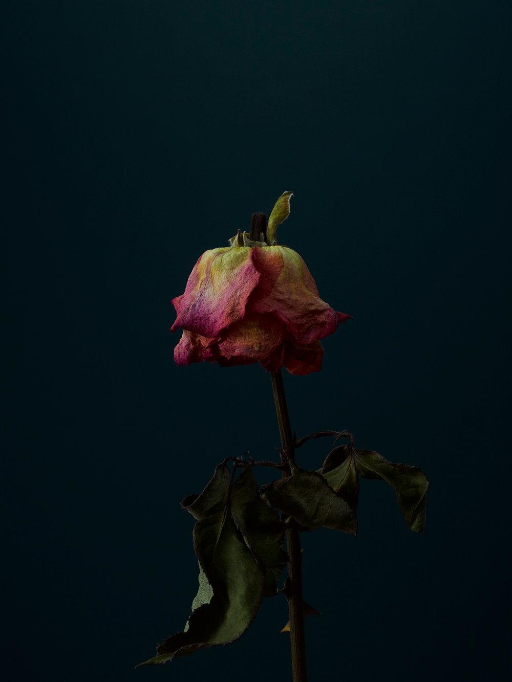 rose-6-copy.jpg
