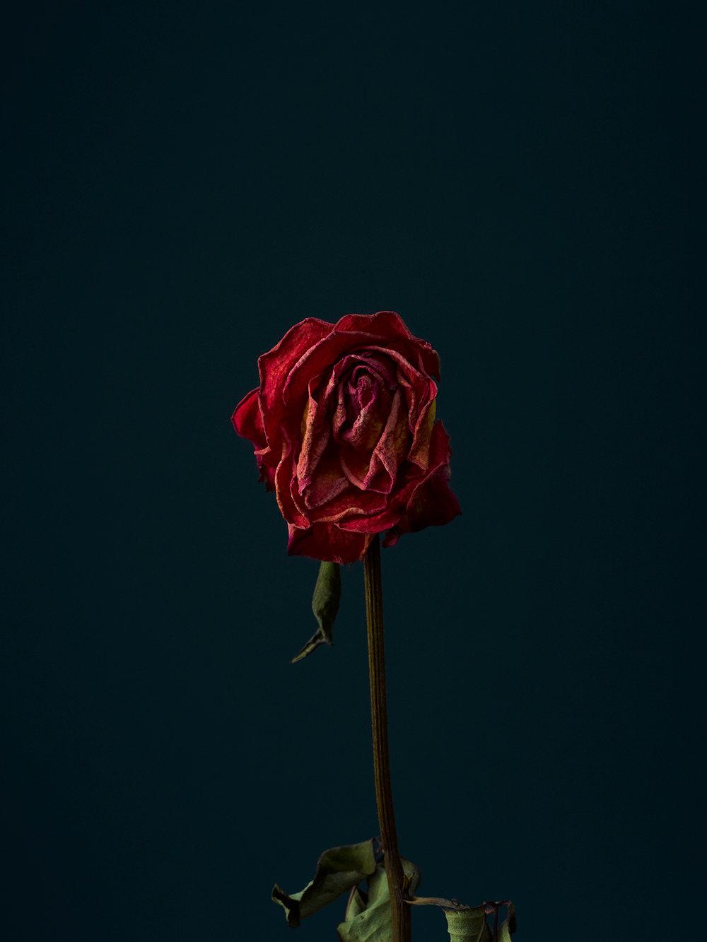 rose-8-copy.jpg
