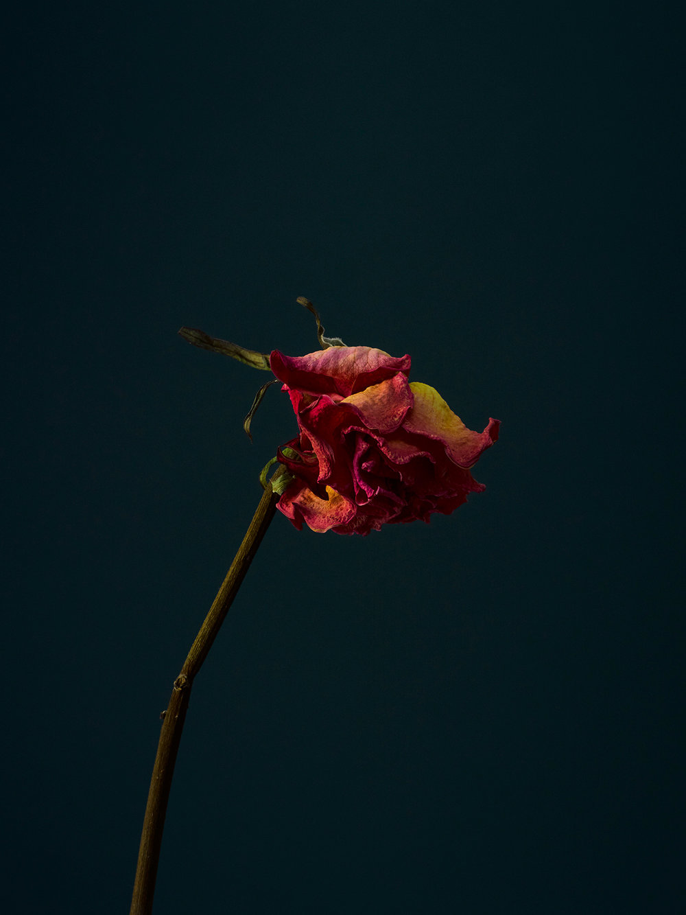 rose-9-copy.jpg