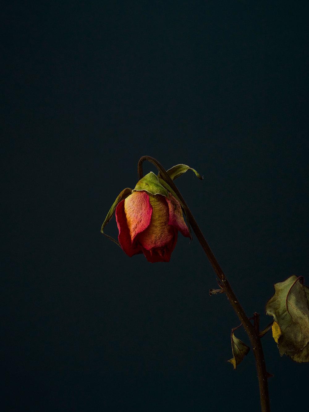 rose-12-copy.jpg
