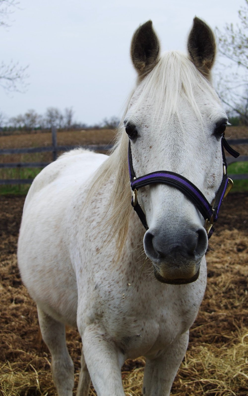 Casper - Seeking a sponsor!Breed: Egyptian ArabianCasper is becoming a wonderful lesson horse. He picks up on cues right away and is a great horse for students to learn to canter.