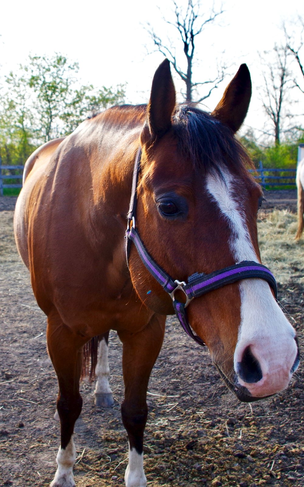 Reggie - Seeking a sponsor!Breed: American Quarter HorseReggie was donated to the farm by Michelle Burt. His gentle demeanor makes him a perfect first horse for many of our new riders.