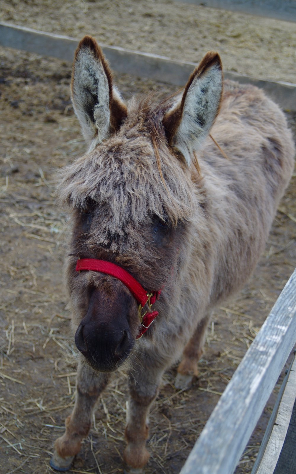 Rabbit - Seeking a sponsor!Breed: Minature DonkeyRabbit is the farm watchdog braying a greeting when you approach her paddock. She is an excellent addition to our ground therapy program and is a great ambassador in our outreach programs.