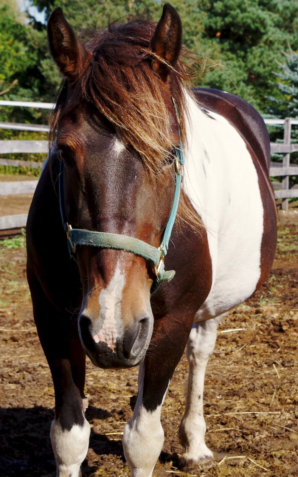 Lola - Half Sponsor: Barbara Lamping, MDBreed: Registered Spotted Draft HorseLola was purchased and donated to the farm for use in our Veterans program and she is also often used for therapy. She suffered a back injury a number of years ago but can once again be used lightly for riding lessons.