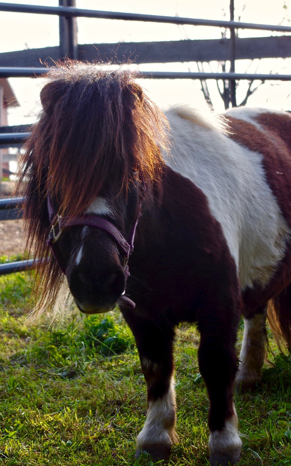 Punkie - Seeking a sponsor!Breed: Miniature HorseAfter his owners could not find a buyer for Punkie, Stepping Stone Farms adopted him along with Taffy. He definitely has
