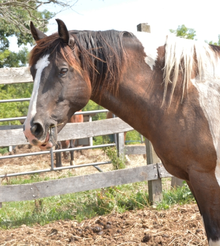 Scout - Seeking a sponsor!Breed: Draft CrossDonated by Lisa Guido, Scout is used in our adaptive riding program. He is a very solid horse and nothing seems to phase him.