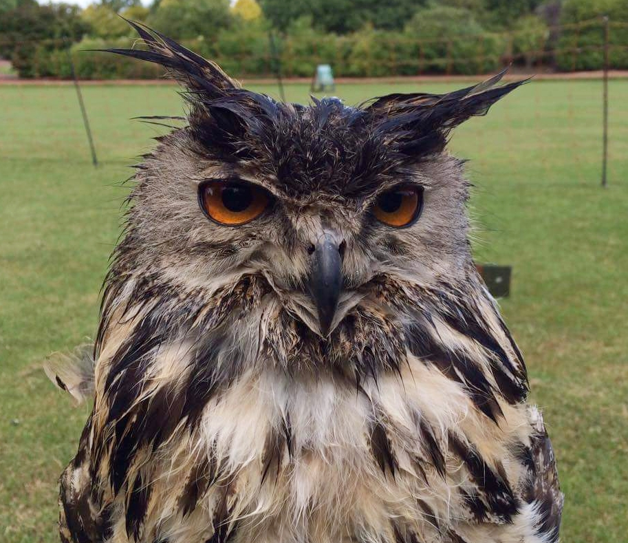 Fergus our Eagle Owl looking very soggy after a heavy shower at Craigtoun Park, near St Andrews