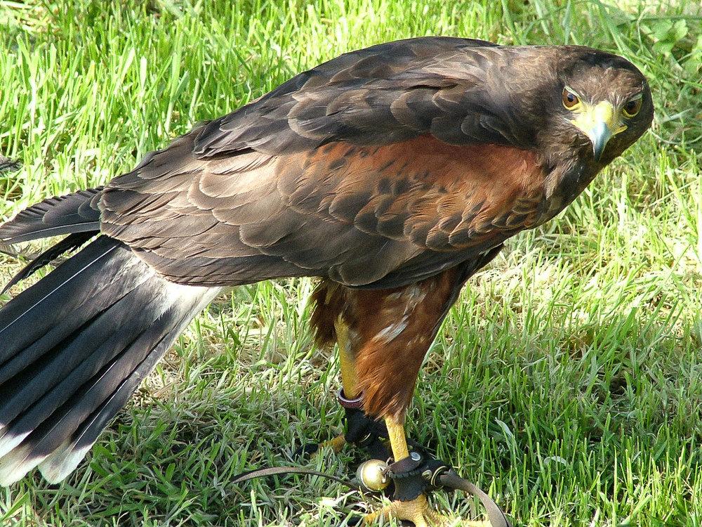 Harris Hawk hawk experience