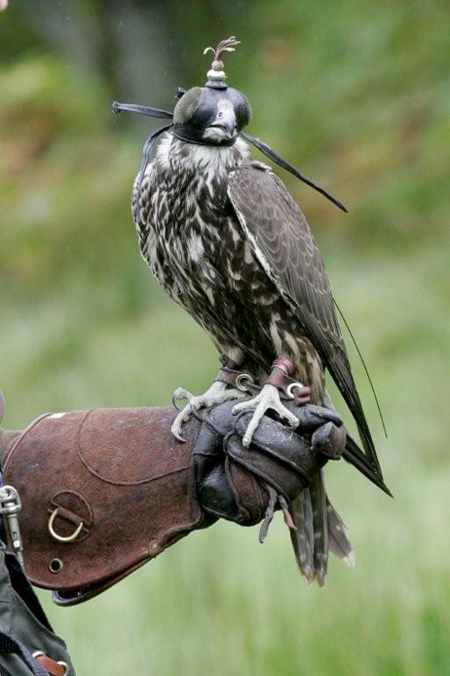 A hooded falcon ready for the hunt