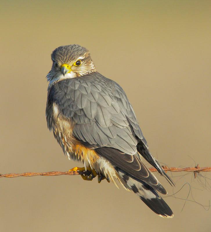 Merlin on wire copy.jpg