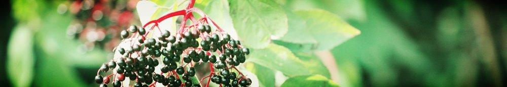 Elderberry-20060924-004.jpg
