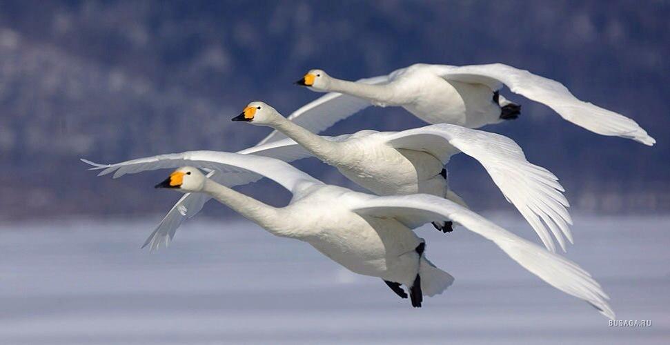 swan-flying-painting-wallpaper-4.jpg